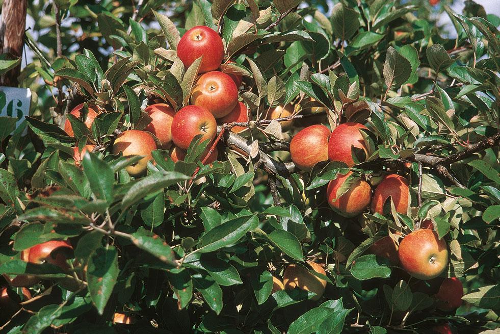 fruit pectin nl